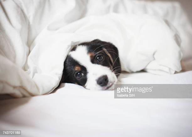 portrait of puppy covered in blanket on bed - tied to bed stock pictures, royalty-free photos & images