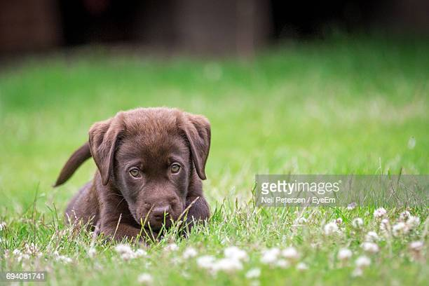 portrait of puppy on field - chocolate labrador stock pictures, royalty-free photos & images