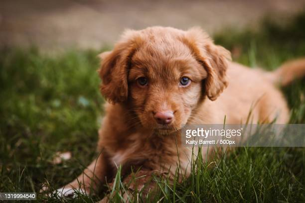 portrait of puppy on grass - nova scotia duck tolling retriever stock pictures, royalty-free photos & images