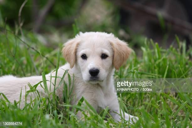 portrait of puppy on grass,italia,italy - pastore maremmano foto e immagini stock
