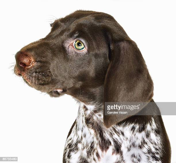 portrait of  puppy - gandee stock pictures, royalty-free photos & images