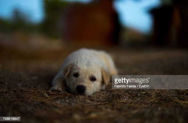 portrait of puppy relaxing outdoors - in rovina foto e immagini stock
