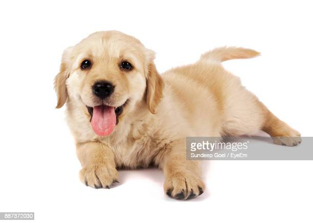 Portrait Of Puppy Sitting Against White Background