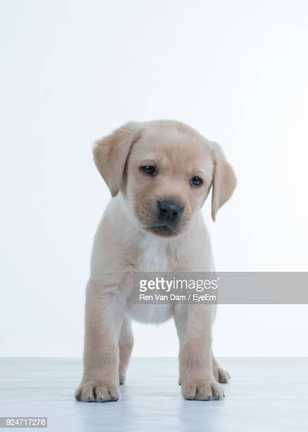 Portrait Of Puppy Standing Against White Background