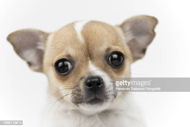 Portrait of puppy with white background