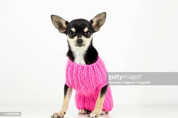 portrait of puppy with white background - jersey top fotografías e imágenes de stock