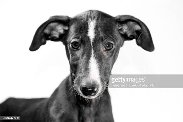 portrait of puppy with white background - animal ear stock photos and pictures
