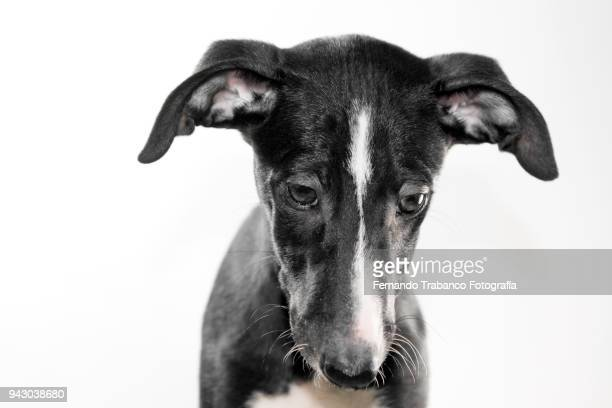 portrait of puppy with white background - animal head stock pictures, royalty-free photos & images