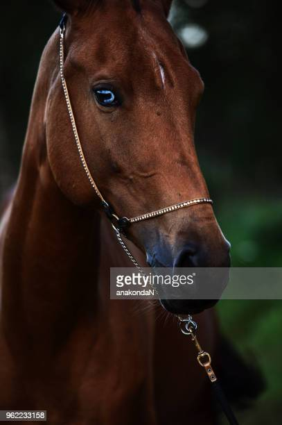 portrait of  purebred akhalteke mare with blue eye at evening. close up