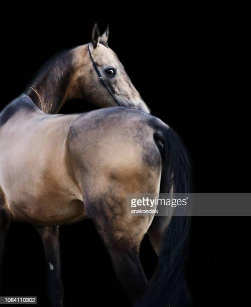 portrait of  purebred akhalteke stallion at black background, back view