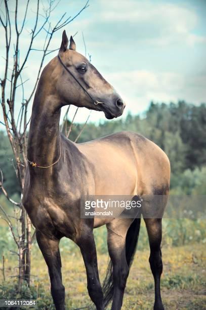 portrait of  purebred akhalteke stallion at forest background