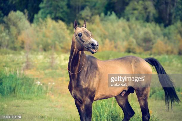 portrait of  purebred akhalteke stallion in emotion at forest background