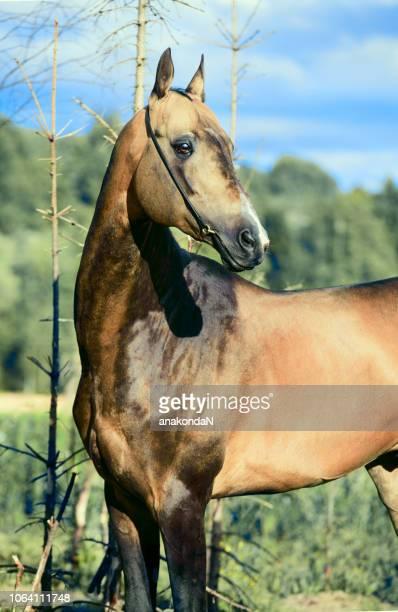 portrait of  purebred akhalteke stallion