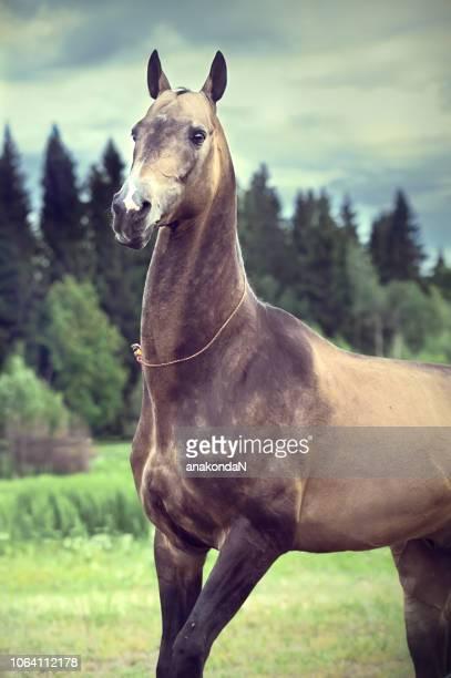 portrait of  purebred buckskin akhalteke stallion at forest background