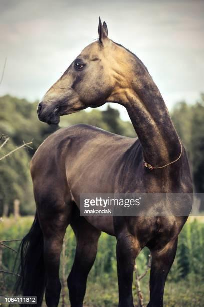 portrait of  purebred buckskin akhalteke stallion