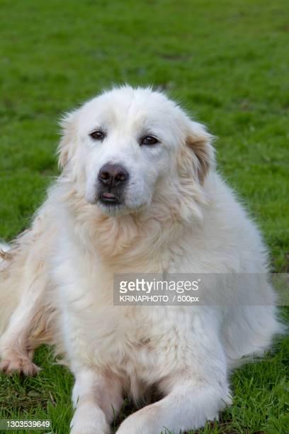 portrait of purebred dog sitting on grass,italia,italy - pastore maremmano foto e immagini stock