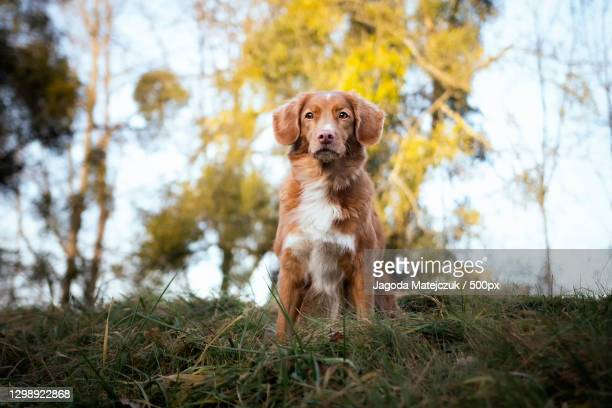 portrait of purebred retriever sitting on field,poland - nova scotia duck tolling retriever stock pictures, royalty-free photos & images