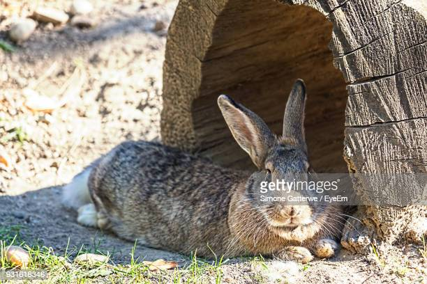 Portrait Of Rabbit Relaxing On Field During Sunny Day