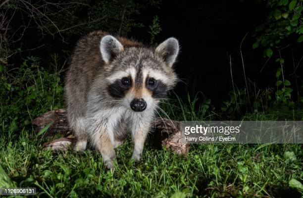 portrait of raccoon on field at night - raccoon stock pictures, royalty-free photos & images