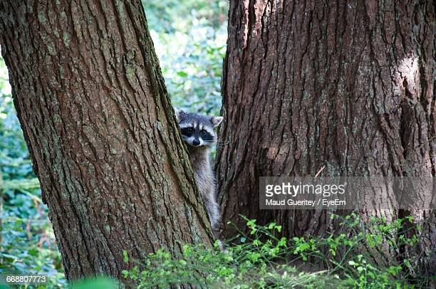 Portrait Of Raccoon On Tree In Forest