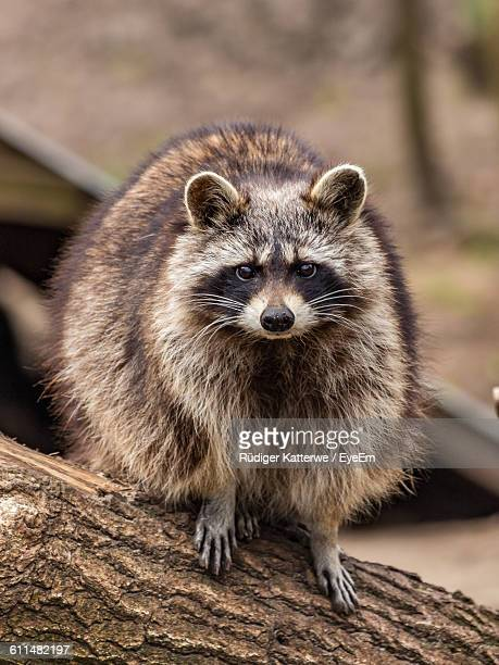 Portrait Of Raccoon On Tree