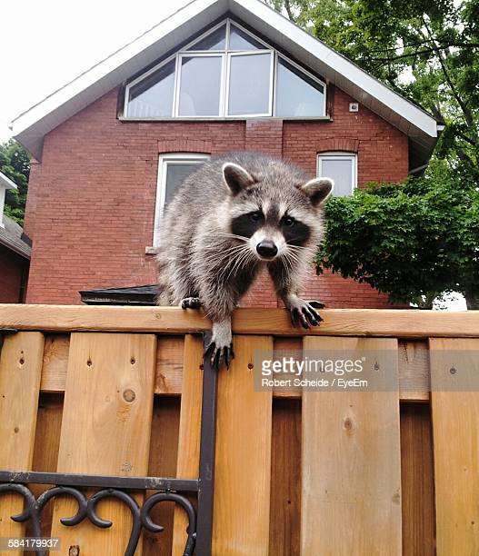portrait of raccoon on wooden fence against house - raccoon stock pictures, royalty-free photos & images