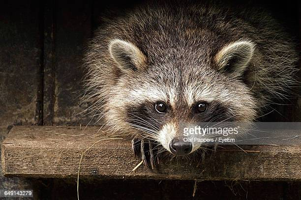 Portrait Of Raccoon On Wooden Shelf