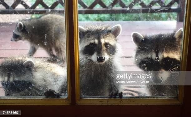 portrait of raccoons by window - raccoon stock pictures, royalty-free photos & images