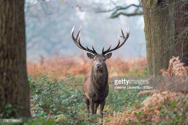 portrait of red deer - animal standing in forest,richmond park,richmond,united kingdom,uk - red deer animal stock pictures, royalty-free photos & images
