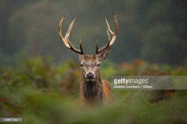portrait of red deer - animal standing in forest,united kingdom,uk - stag stock pictures, royalty-free photos & images