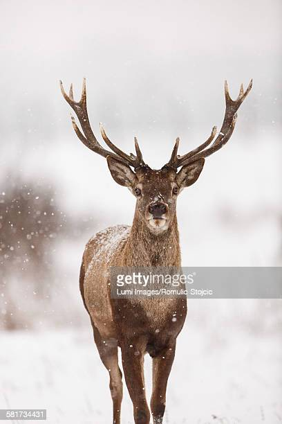 Portrait of red deer stag