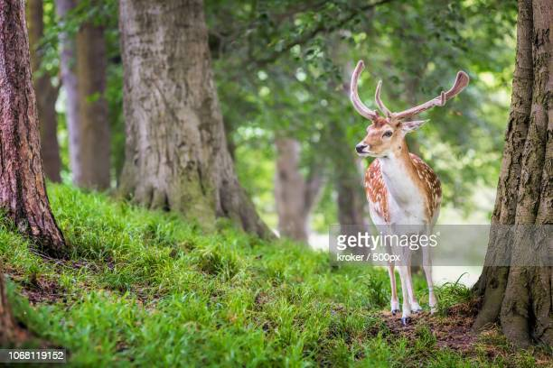 portrait of red deer standing on grass in forest - アカシカ ストックフォトと画像