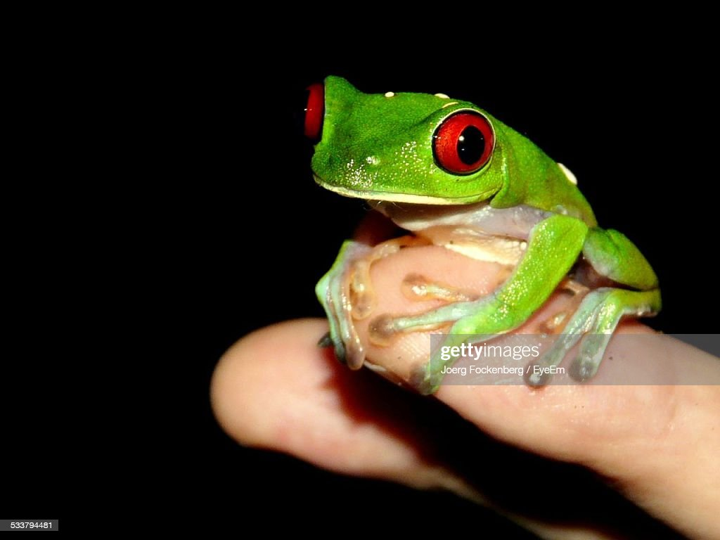 Portrait Of Red Eyed Tree Frog On Black Background : Foto stock