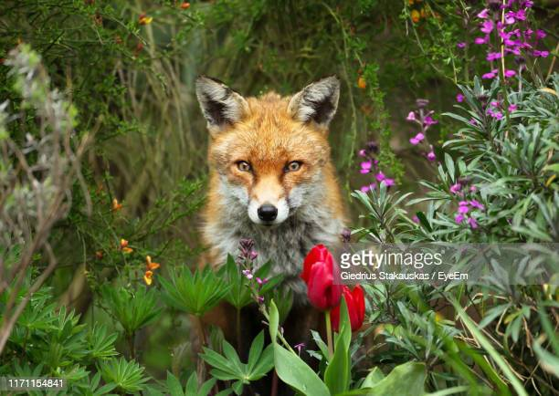 portrait of red fox amidst plants - fox stock pictures, royalty-free photos & images