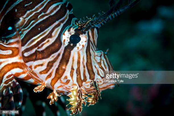 Portrait of Red Lionfish in the Bali Sea