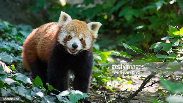 portrait of red panda by plants on field - red panda stock pictures, royalty-free photos & images