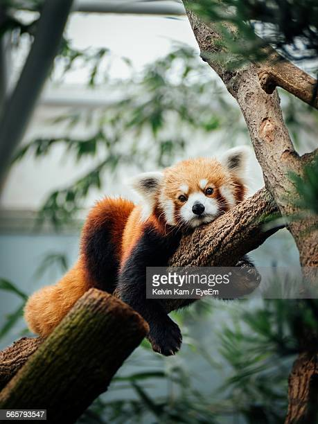 portrait of red panda - red panda stock pictures, royalty-free photos & images
