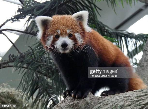 portrait of red panda standing on tree trunk - red panda stock pictures, royalty-free photos & images