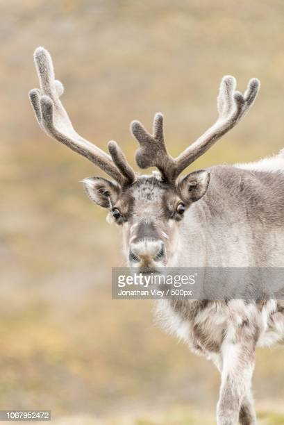 portrait of reindeer - rentier stock-fotos und bilder