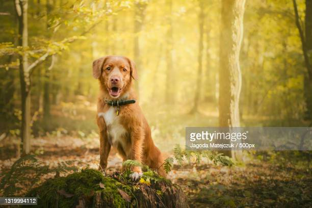 portrait of retriever standing in forest,poland - nova scotia duck tolling retriever stock pictures, royalty-free photos & images