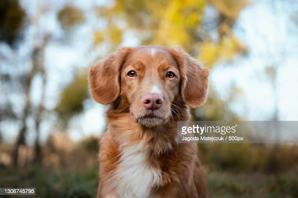 portrait of retriever standing on field,poland - nova scotia duck tolling retriever stock pictures, royalty-free photos & images