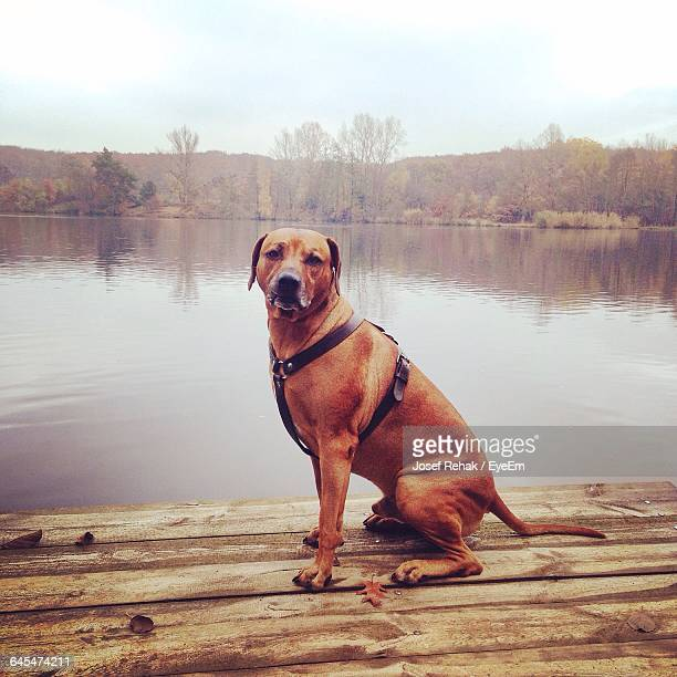 Dogs And Hardwood Floors: Rhodesian Ridgeback Stock Photos And Pictures