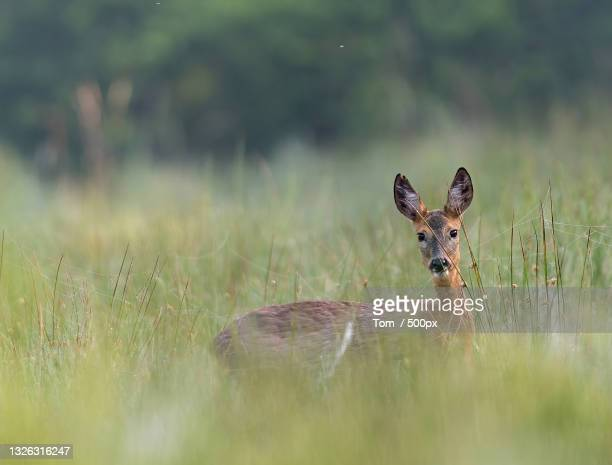 portrait of roe deer on field - female animal stock pictures, royalty-free photos & images