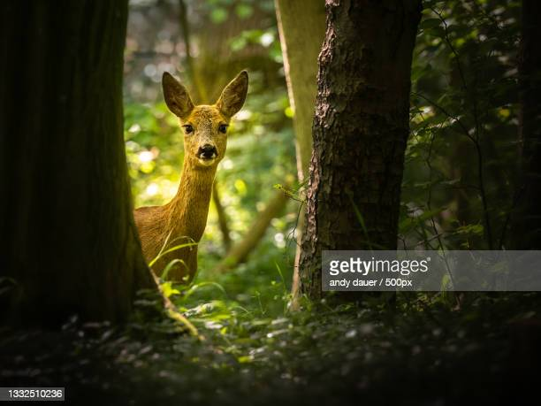 portrait of roe deer standing amidst trees in forest - andy dauer stock pictures, royalty-free photos & images