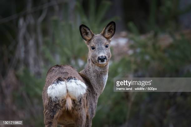 portrait of roe deer standing in forest,sweden - female animal stock pictures, royalty-free photos & images