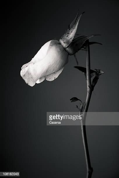 Portrait de Rose avec Broken tige, en noir et blanc