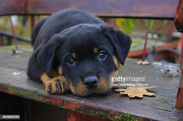 portrait of rottweiler puppy lying on table at park - rottweiler stock photos and pictures