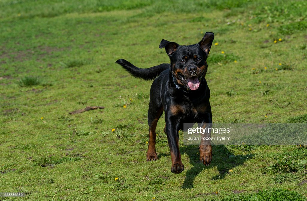 Portrait Of Rottweiler Running On Grassy Field Stock Photo Getty