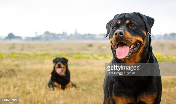 portrait of rottweilers on field against sky - rottweiler stock photos and pictures