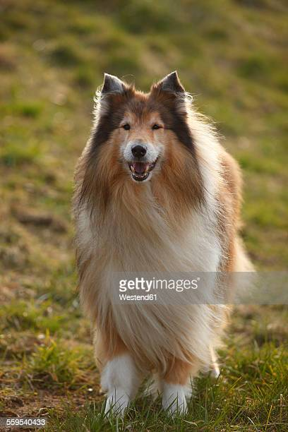 portrait of rough collie on a meadow - collie stock photos and pictures